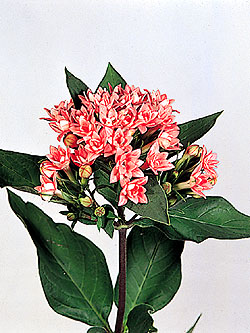 ������ ������� ������ ������� ������� ����� ����� Encyclopedia flowers Pictures Photos flowers 13.jpg?w=480