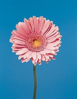 موسوعة الازهار معلومات عن الازهار بالصور 25