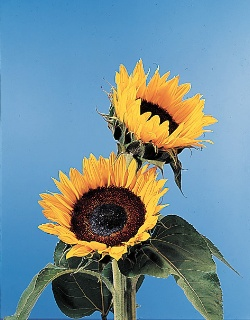 موسوعة الازهار معلومات عن الازهار بالصور 30