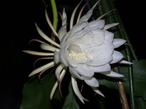 زهرة ملكة الليل 59.jpg?w=480&h=3