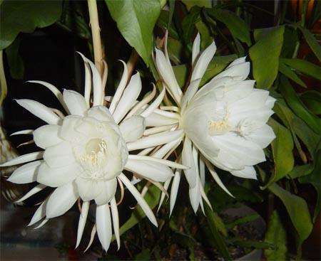 زهرة ملكة الليل 61.jpg?w=450&h=3