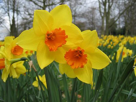 Daffodil. النرجس