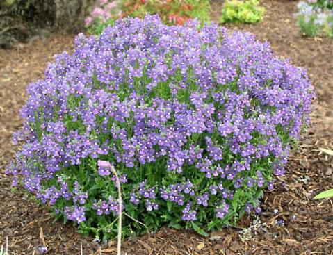 Tagetes for Piante e fiori perenni per aiuole