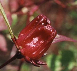 Hibiscus-sabdariffa-