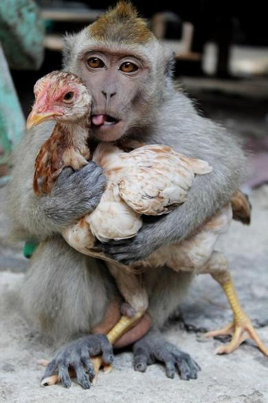 1390575432_Monkey-falls-in-love-with-a-chicken-3054547